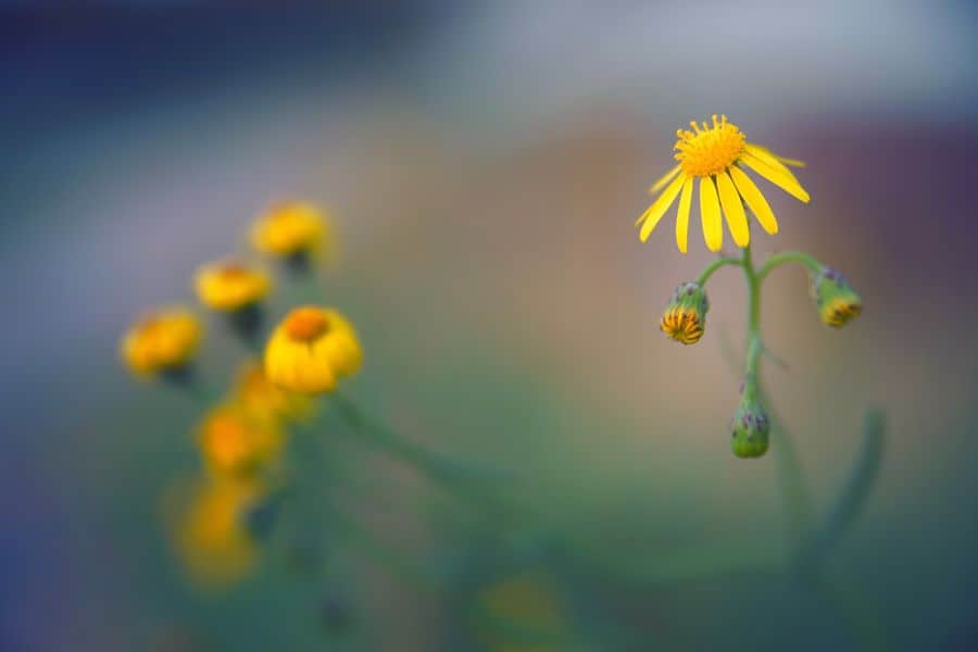 One yellow sunflower being a point of focus in an image, whereas the other flowers are blurred in the background